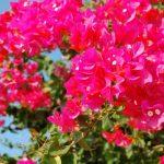 インドネシアで花粉症発症?!9月~10月は要注意の季節かもしれない。